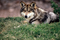 A Mexican wolf laying in the grass.