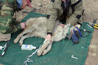 A wolf being prepared for release.