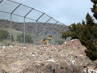 A captive wolf behind a fence.